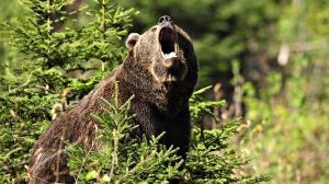 1430035746_mountain-bear_300