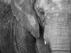 607418-elephant