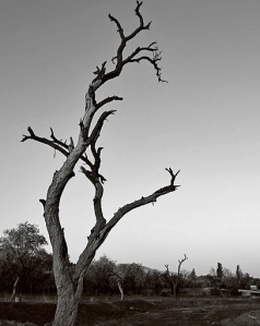 burned-tree-iran